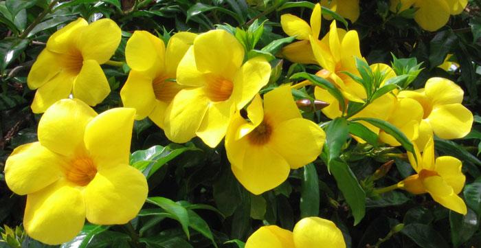 Flores de Allamanda cathartica