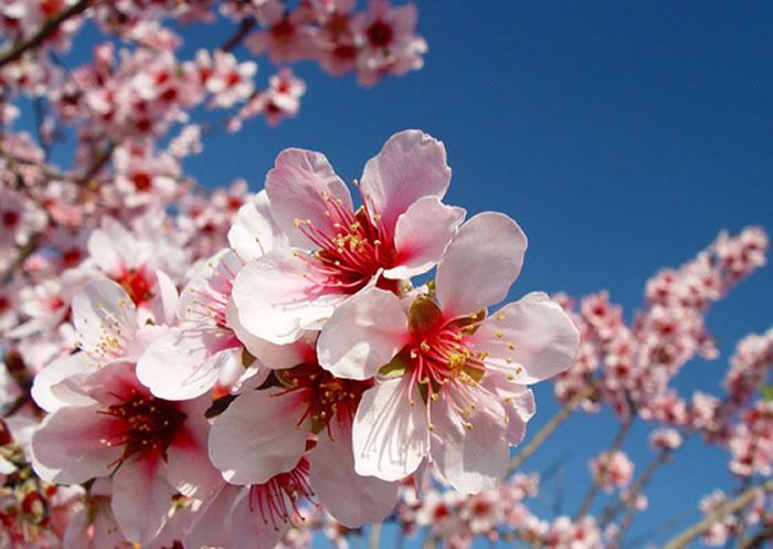 flores de almendro 1