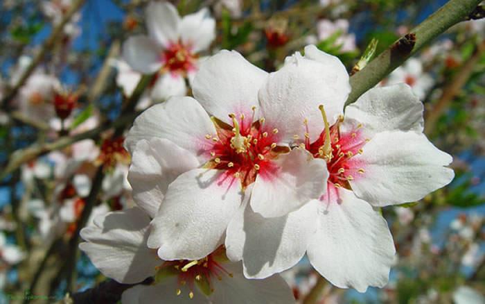 flores de almendro b
