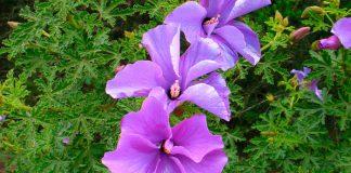 Flores de Alyogyne delightfully