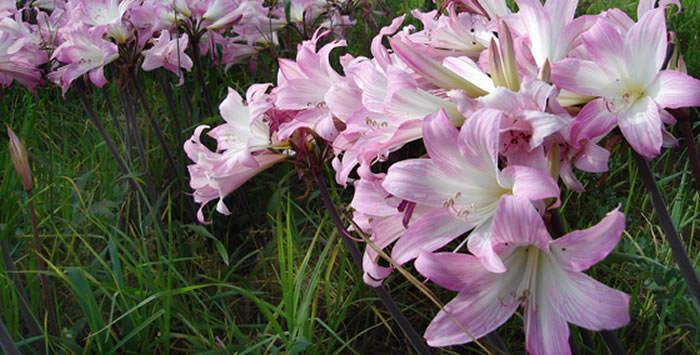 Flores de Amaryllis belladonna