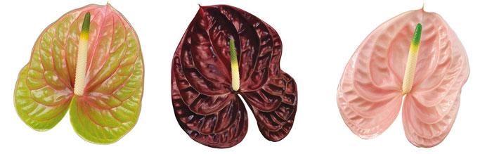 Flores de Anthurium andreanum