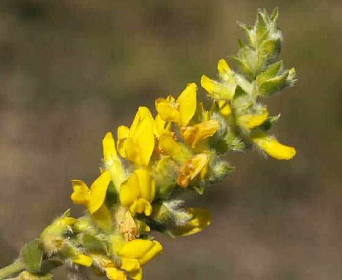 flores de anthyllis cytisoides