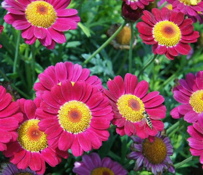 flores de argyranthemum frutescens