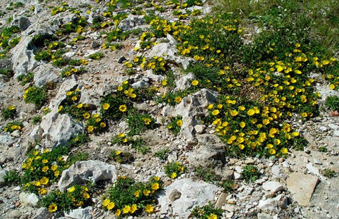 flores de astericus maritimus