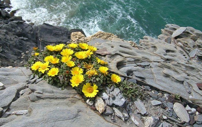 Flores de asteriscus maritimus