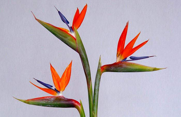 Strelitzia reginae como flores frescas