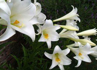 Flores de azucena