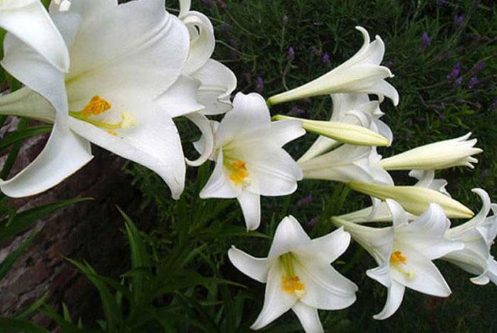 Calendario del jard n en septiembre for Azucena plantas jardin