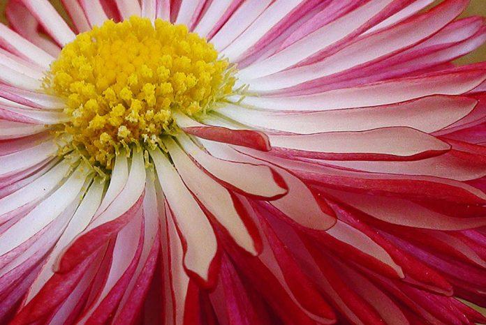 Flores de Bellis perennis