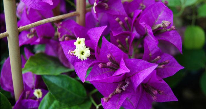 Flores de Bougainvillea