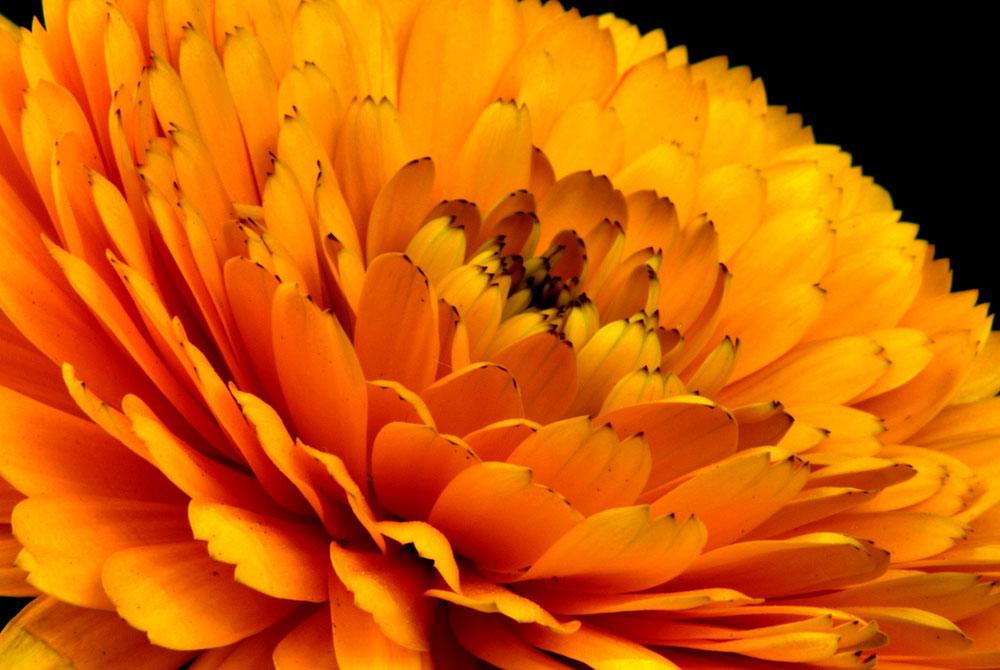 Flores de Calendula naranja