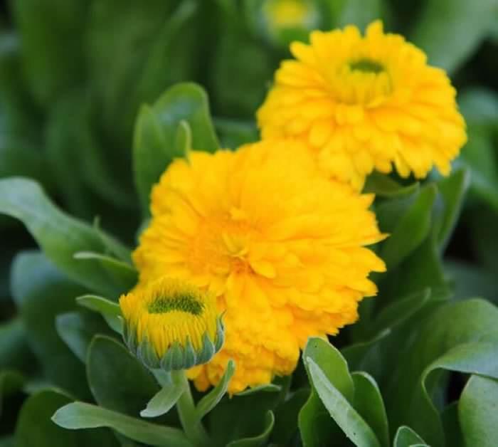 Flores de Calendula officinalis
