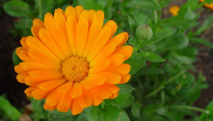 Flores de calendula