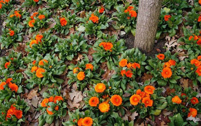 La calendula officinalis - Plantas para arriates ...