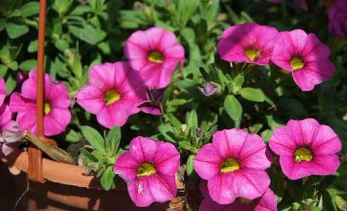 Flores de Calibrachoa hybrida