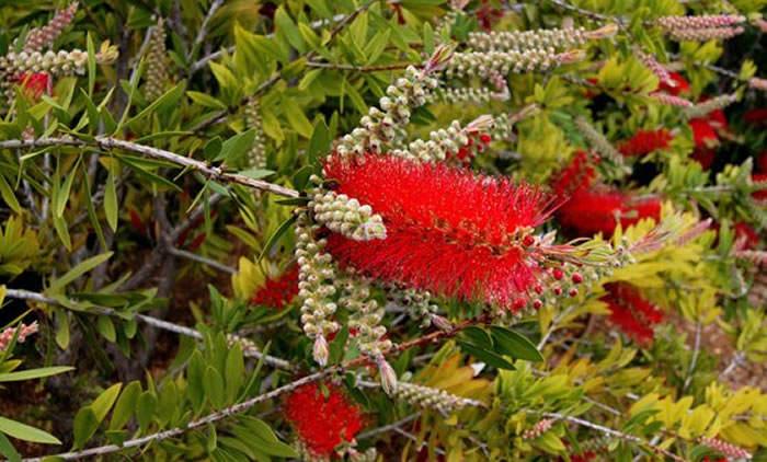 flores de callistemun