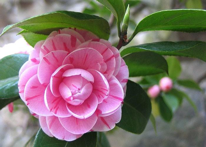 Flores de camellia