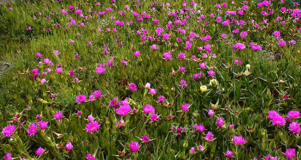 Flores de carpobrotus sp