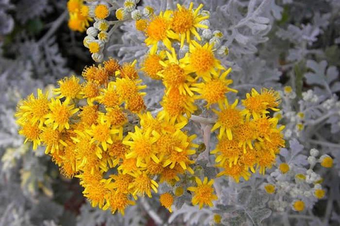 flores de cineraria maritima