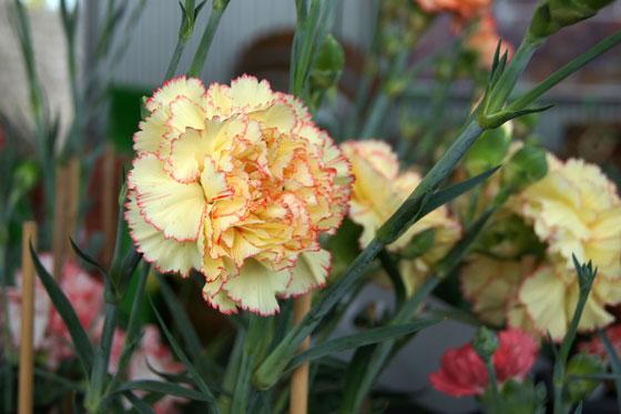 Flores de claveles