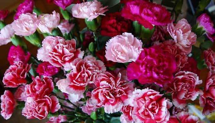 flores de clavellina