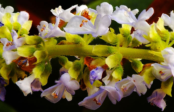 Flores del Coleo