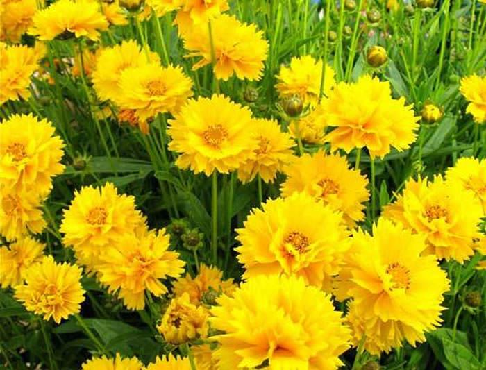 flores de coreopsis amarillas