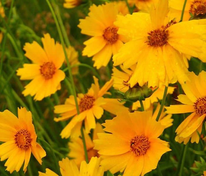 flores de coreopsis lanceolata