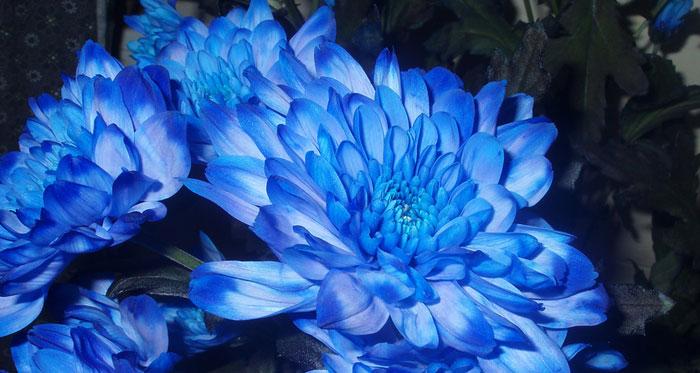 Crisantemos De Flores Azules Revista De Flores Plantas