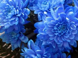 Flores de crisantemo de color azul