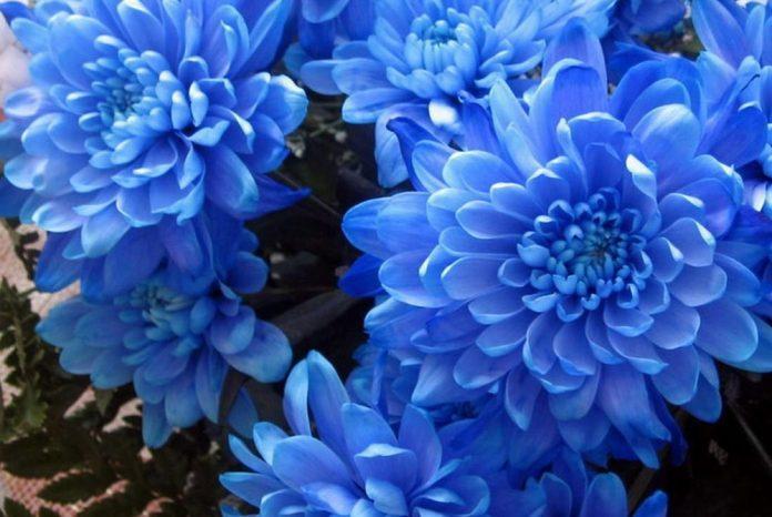 Flores de crisantemo de color azul