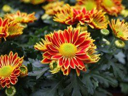 Flores de crisantemo para Todos los Santos
