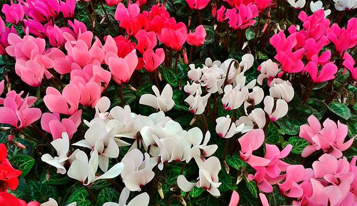 Flores de cyclamen
