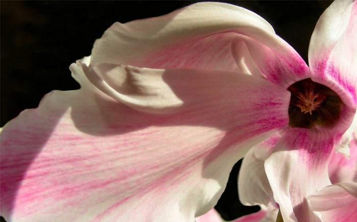 Flores de Cyclamen rosa