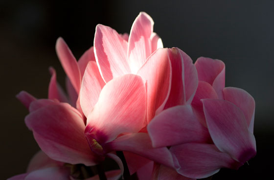 Flores rosas de Cyclamen