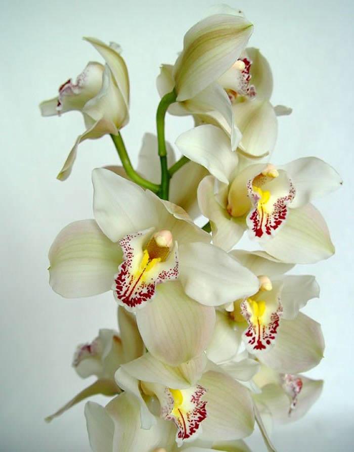 flores de cymbidium