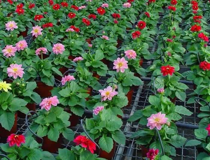 flores de dahlias dalias