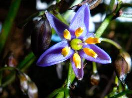 Flores de Dianella tasmanica