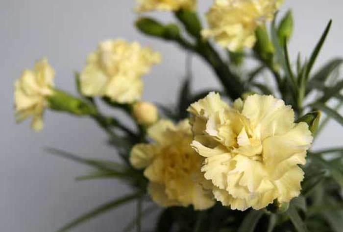 flores de dianthus amarillo