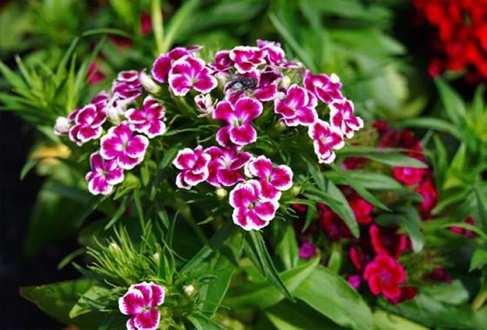 flores de dianthus barbatus rosa