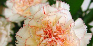 Flores de Dianthus caryophyllus