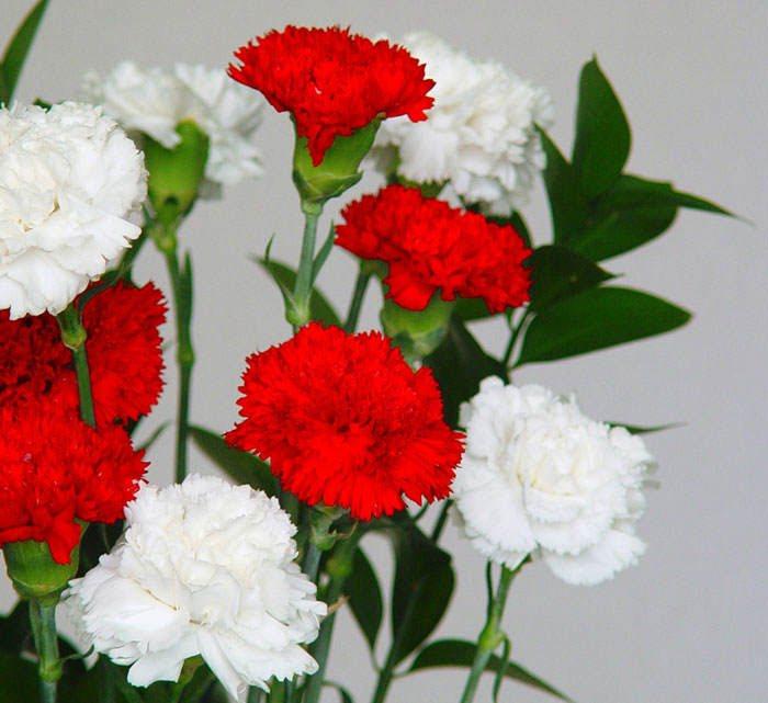 dianthus caryophyllus, el clavel | floresyplantas