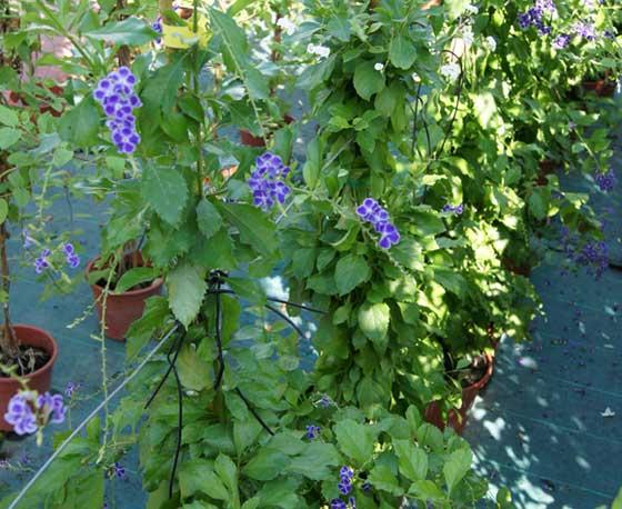 Flores de Duranta repens