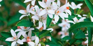 Flores de Eriostemon myoporoides