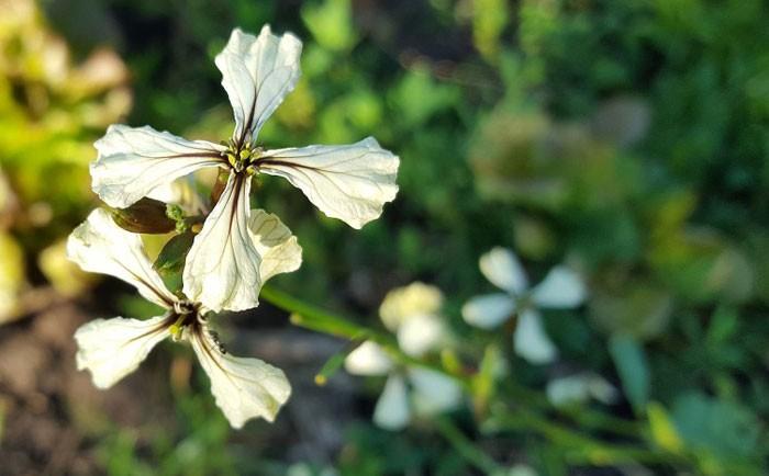 Flores de Eruca sativa