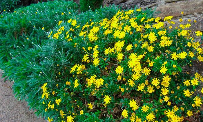 Flores de Euryops pectinatus