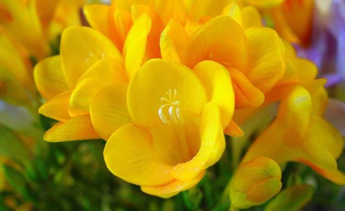 Flores de Freesia amarillas