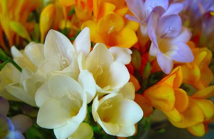 Flores de Freesia blancas