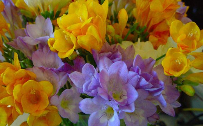 Flores de Freesia